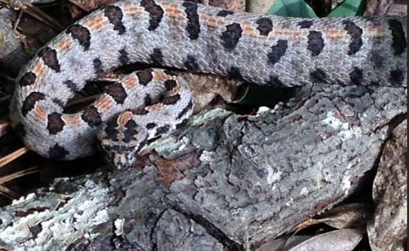 Meet the Western Pygmy Rattlesnake - my not new friend
