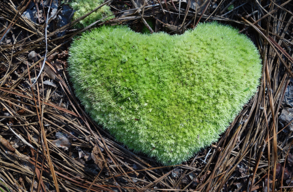 These little pieces of moss are scattered throughout the forest, we have naming continents but this heart was too good to pass up.