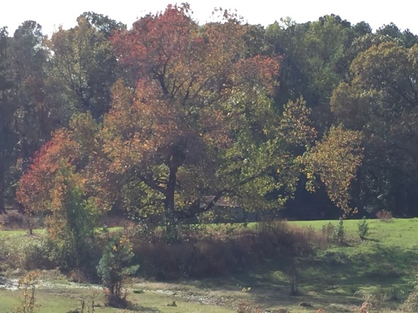 Changing leaves on the tree in the horse paddock.